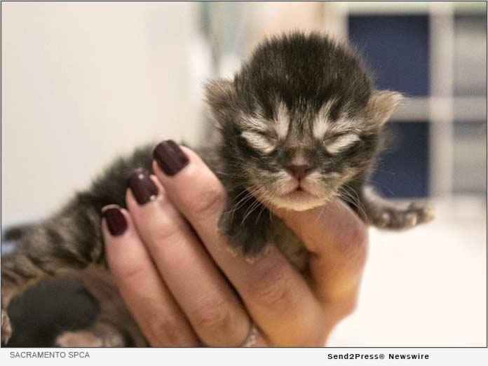 Sacramento SPCA Braces for an Overwhelming Kitten Season