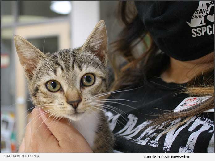 Sacramento SPCA staff member holds kitten