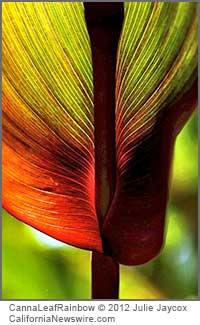 Canna Leaf Rainbow (c) 2012 Julie Jaycox
